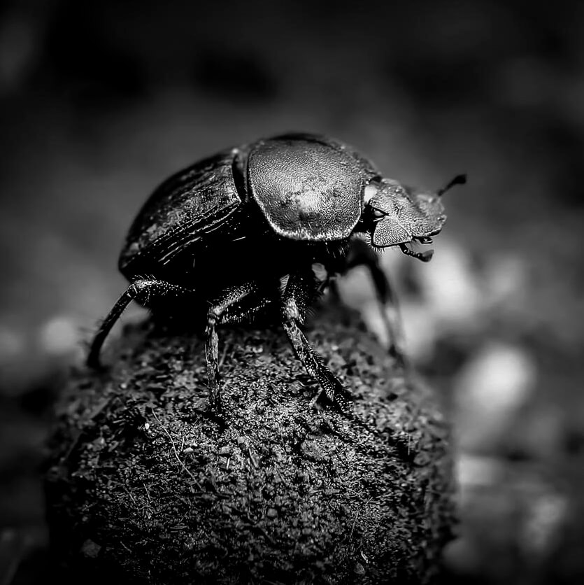 The Shhh Secret told by a dung beetle
